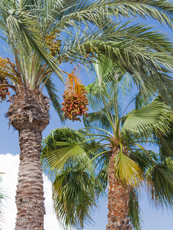 dioecious: High palm tree with delicious ripe figs on a blue sky background, vertically, Spain Stock Photo