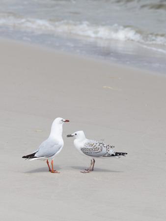 vogelspuren: smart beautiful bird gull with dark legs and beak with nestling on the sandy shore, on the beach