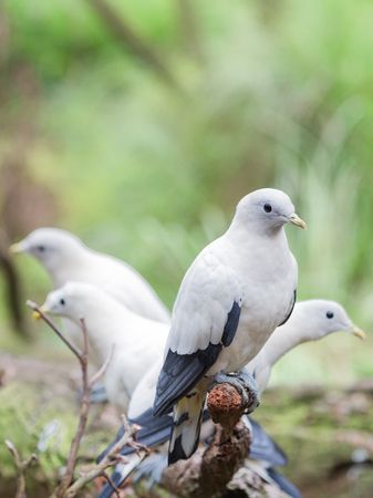 beautiful rare: Unusual beautiful white doves with black wings rare breed sitting on a branch on a green background, vertical