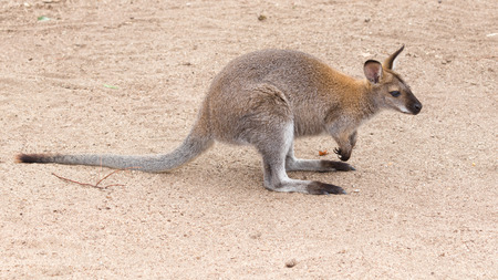 furry tail: smart funny furry kangaroo with long elastic tail standing on a sandy track, Australia
