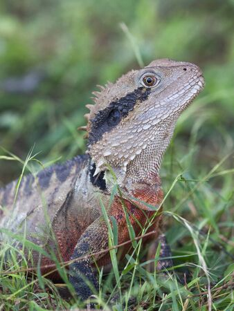 red breast: funny unusual beautiful cute gray lizard with black stripes and a red breast, looks out from the green grass, Australia