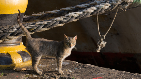 paw smart: beautiful smart cat with a striped tail standing on a sea berth in the background of an old rope and looks, evening Stock Photo
