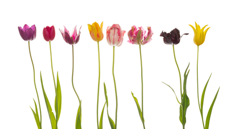 abreast: bright beautiful varietal multicolored tulips of different varieties, with thin long green stems and leaves on a white background isolated
