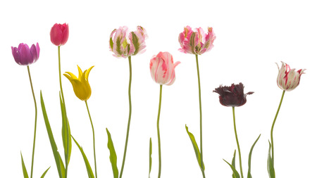 abreast: many bright beautiful varietal unusual multicolored tulips of different varieties, with thin long green stems and leaves on a white background isolated