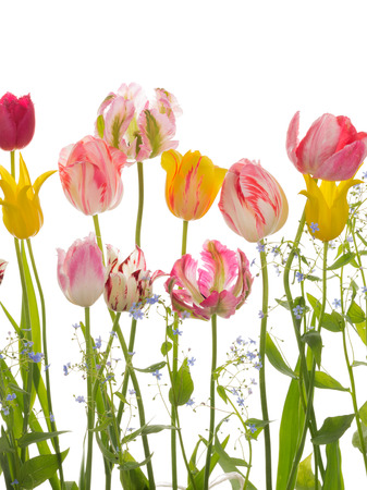 beautiful bright pink, purple, yellow, variegated tulips of different varieties, and blue forget-me-Malenik, isolated on white background Stock Photo