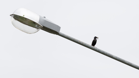 street lights: a small black bird with a worm in its beak sitting on a big street lights Stock Photo