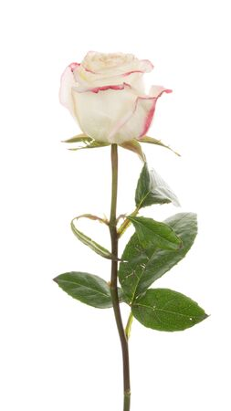 spring tide: gentle beautiful unusual two-tone white rose flower with a bright pink-edged petals, isolated on white background