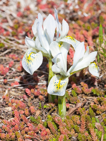 Delicate beautiful Dwarf Iris Katharine Hodgkin Bulbs Blue and purple with yellow flecks appear in the garden in early spring on a background of red saxifrage