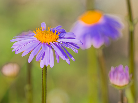 the stamens: beautiful daisy with a bright yellow center with stamens and delicate lilac petals on a green background