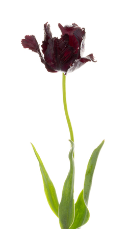 torn edges: beautiful fragrant black tulip flower, with torn edges of the petals, unusual varieties of parrot, isolated on white background Stock Photo