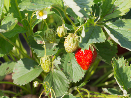 sepal: remontant beautiful red ripe delicious bright juicy ripe berry strawberry in the summer garden in the garden