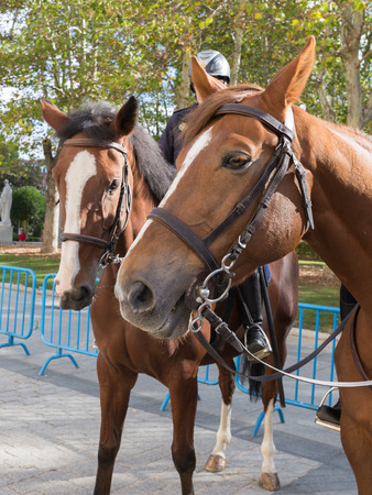 rein: Two brown bay smart good strong horse with beautiful eyes bridles to stand on the street, Madrid Stock Photo