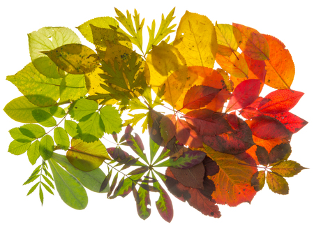 light transmission: bright beautiful multicolored translucent leaves, arranged with the transition of color, isolated on white background Stock Photo