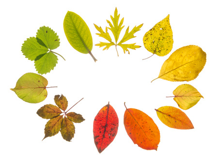 light transmission: bright beautiful translucent multicolored autumn leaves, arranged with the transition of color, isolated on white background Stock Photo