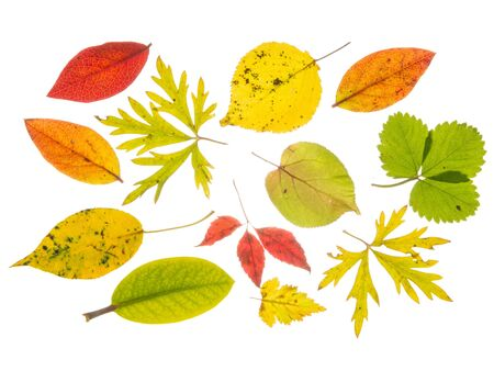 light transmission: Beautiful bright colorful autumn leaves, from various plants, isolated on white background
