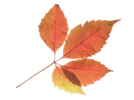light transmission: Beautiful bright colorful autumn red spotted sweet leaf, isolated on a white background