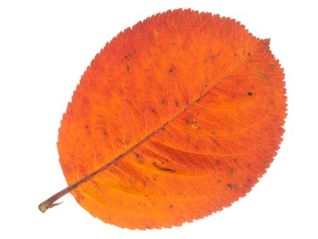 light transmission: beautiful bright colorful spotted red autumn leaf, isolated on a white background
