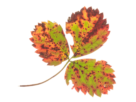 light transmission: Beautiful bright colorful autumn spotted strawberry leaf on a white background isolated