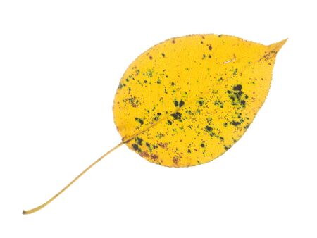 light transmission: beautiful colorful autumn bright yellow spotted tender leaf, isolated on a white background