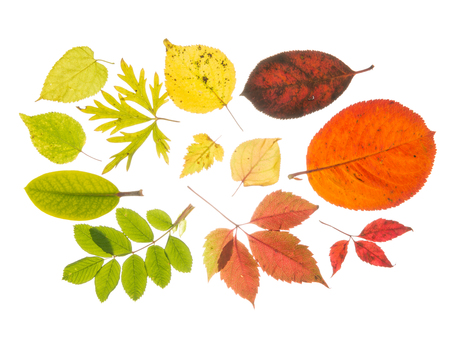 light transmission: Beautiful bright colorful autumn leaves, isolated on white background Stock Photo