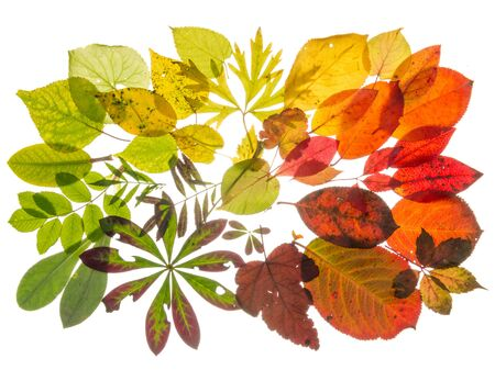 light transmission: beautiful multi-colored translucent leaves, arranged with the transition of color, isolated on white background Stock Photo