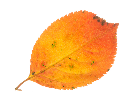 light transmission: Beautiful bright colorful autumn orange spotted sweet leaf, isolated on a white background
