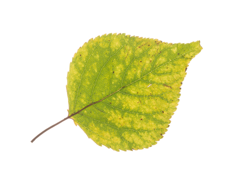 light transmission: beautiful bright mottled green-yellow autumn delicate leaf on a white background isolated