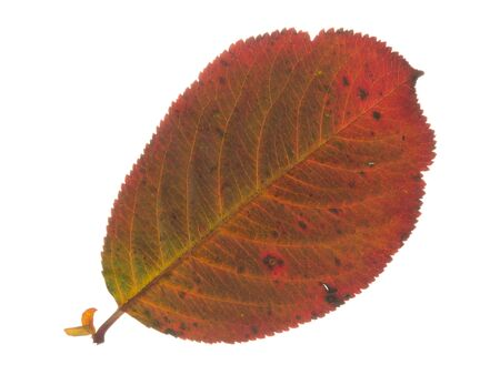 light transmission: beautiful bright colorful spotted red autumn brown delicate leaves, isolated on white background Stock Photo