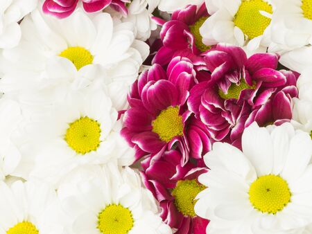 Beautiful background of white flowers and purple chrysanthemum beautiful background of white flowers and purple chrysanthemum with yellow center stock photo 70721750 mightylinksfo