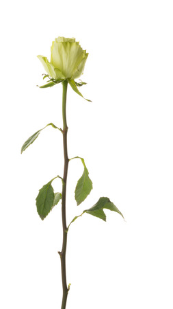 Unusual beautiful tender green rose, rare variety, on a thin stem on an isolated white background