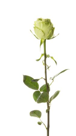 Unusual beautiful green rose, rare variety, on a thin stem on an isolated white background