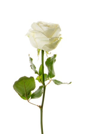 Unusual beautiful tender white rose on a thin stem on an isolated white background Stock Photo