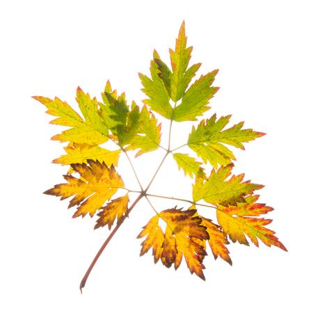 Oranger vert jaune belle feuille sur fond isolé blanc Banque d'images - 87967803