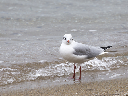 An intelligent white and gray gull looks into the frame, standing on the sand, and the sea splashes at her red paws