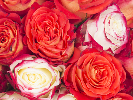 bouquet of flowers roses - beautiful bright red and white with a pink border on petals Stock Photo