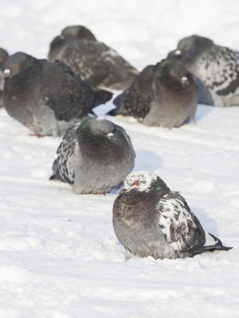 Fluffy beautiful pigeons freeze in winter on white snow in cold weather