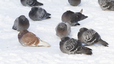 Fluffy gray-black and brown doves freeze in winter on white snow in cold weather