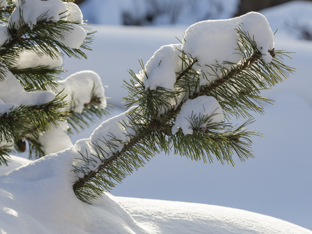 white shiny fluffy snow on a green pine and sunlight Stok Fotoğraf