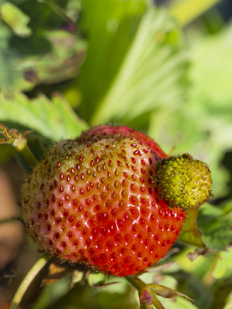 bright red strawberry in the garden on a green background and sunlight Stok Fotoğraf