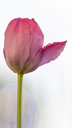 beautiful pink delicate tulip flower with water drops on a light background