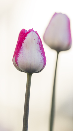 beautiful white and pink tender flowers of tulips on a light background in the morning in the garden