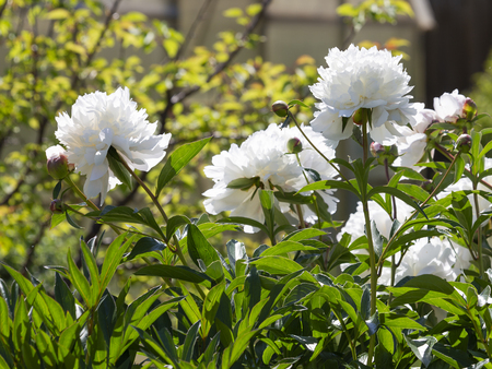 beautiful white flowers of peonies in the garden early in the morning and sunlight