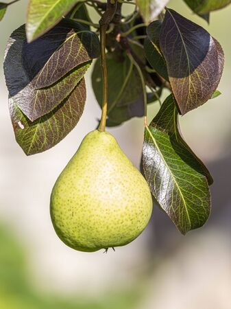 ripe juicy pear grows on a branch with leaves in the summer on the street in the garden on a light background