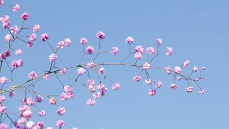 delicate thin branch of gypsophila with pink flowers against a blue sky