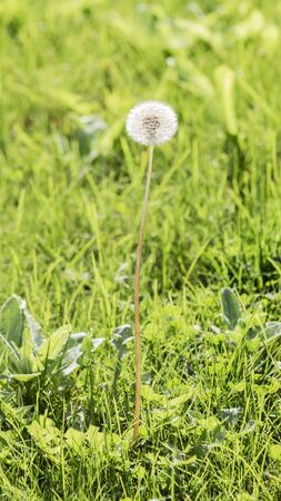 white fluffy dandelion grows in the green juicy grass in the summer outdoors