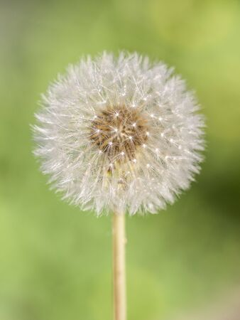 white fluffy round delicate dandelion on a green summer outdoors
