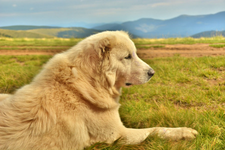 great pyrenees: guard dog that guards the sheep in the mountains of the Carpathian Mountains in Ukraine