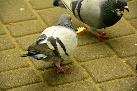 winter urban wildlife: a few pigeons in the city park