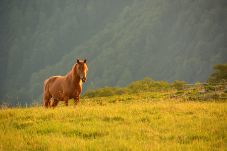 wild horses in the mountains of the Carpathian Mountains in Ukraine