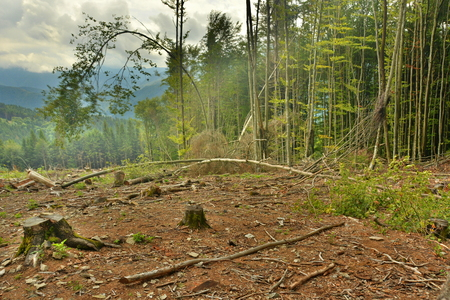 felled: cutting down trees in the forests of the Carpathians in the mountains Stock Photo